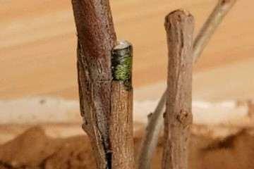 图解 榆树盆景怎么环剥高压的方法