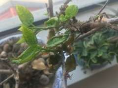 为什么我的腊梅下山桩长叶子 这样子