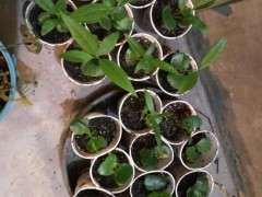 移栽腊梅下山桩小苗时用什么土 图片