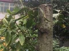 腊梅下山桩怎么移栽的方法 图片