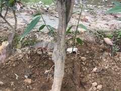 种了3年的腊梅下山桩 今年要开花了 图片
