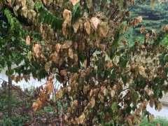 地栽腊梅下山桩 叶子突然枯萎 怎么办