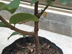 腊梅下山桩带花裸根栽得活吗 图片