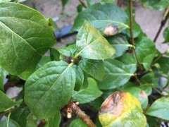 为什么盆栽腊梅下山桩夏季会枯叶 图片