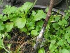 腊梅下山桩 秋季可以摘叶了吗 图片