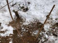 12月份种的腊梅下山桩 一直没动静