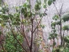 腊梅下山桩叶子蔫了 怎么办 图片