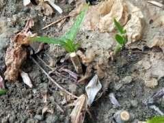 插扦的腊梅下山桩没多少天就发芽了 图片