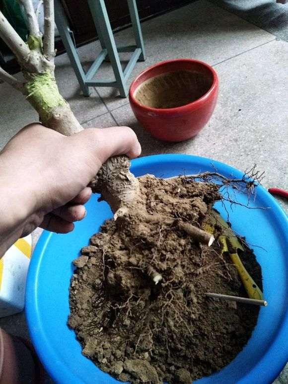 腊梅下山桩一直放在室内养能开花吗