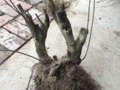 腊梅下山桩 刚挖的 怎么种植 图片