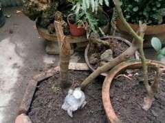 只有杆的腊梅下山桩桩能栽活不 图片