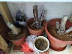 腊梅下山桩可以用松针土栽吗 图片