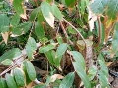 腊梅下山桩栽了两年 未见开花 怎么办
