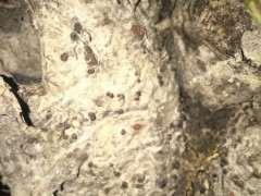 腊梅下山桩上长的黑色疙瘩是什么 图片