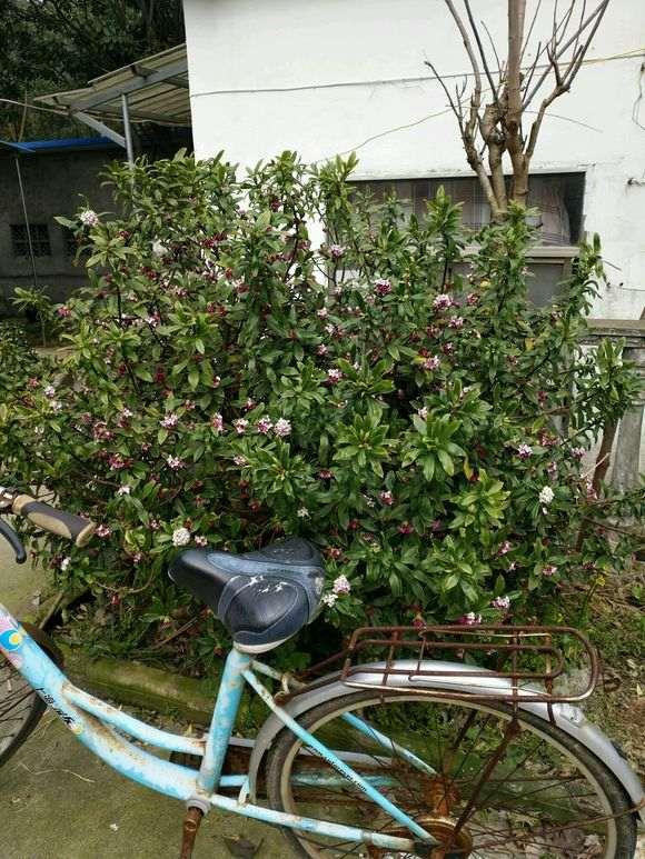 瑞香下山桩地栽8年 有自行车高 图片