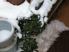 瑞香下山桩怎么过冬 0度了 图片