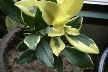 我家的瑞香盆栽变黄了 怎么办 图片
