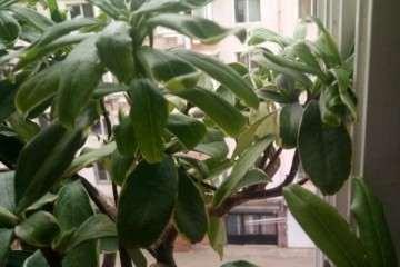 瑞香盆栽是不是要挂了 不敢浇水 图片