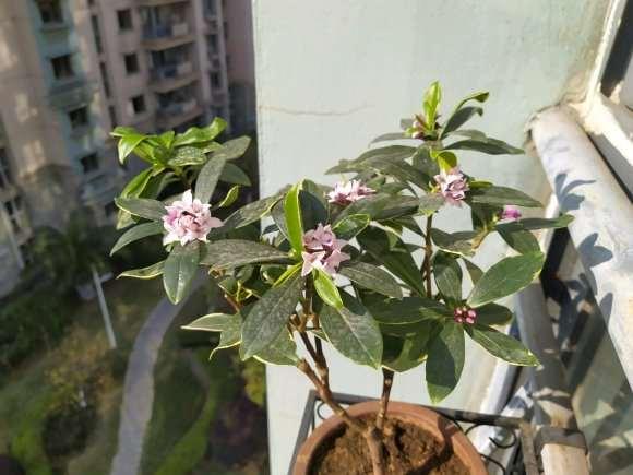 瑞香盆栽花开 有几个花蕾 图片