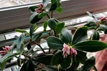 瑞香盆栽花苞也淡 真是品种不同 图片