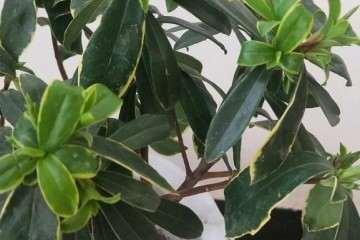 瑞香盆栽咋光长叶芽不长花苞呢 图片