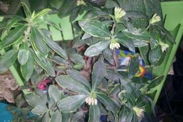 夏天阳台养瑞香盆栽 热死了 怎么办 图片