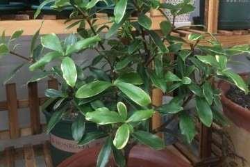 为啥我的瑞香盆栽没有花苞呢 图片