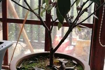 为什么瑞香盆栽的杆子干瘪瘪 图片
