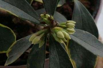 为什么金边瑞香盆栽花苞都枯萎了 图片