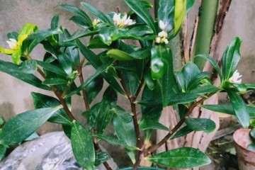 武汉 金边瑞香盆栽可以室外过冬吗