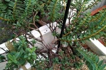 瑞香盆栽 现在还不敢上盆看根 图片
