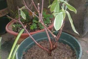 瑞香盆栽换盆 叶子基本剪光了 怎么办