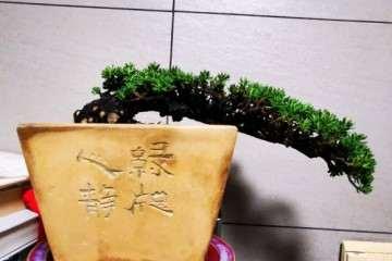瑞香盆栽的发芽率太恐怖了吧 图片