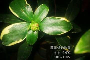 瑞香盆栽有花苞了 真挺开心 图片