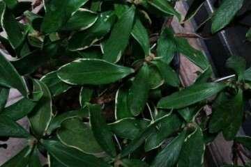 瑞香盆栽叶子打蔫 发黑 怎么办 图片