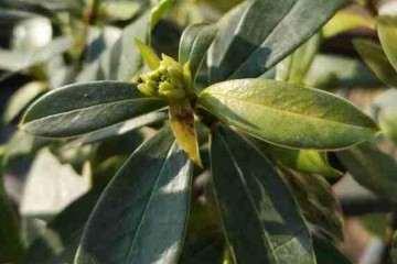 为什么瑞香盆栽花苞的嫩叶变成褐色