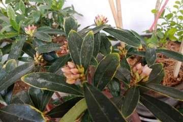 一盆金边瑞香盆栽 导致缺水 花苞干瘪