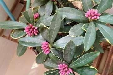 瑞香盆栽的花苞变异了 怎么办 图片