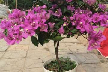 三角梅盆栽怎么施肥最好 图片