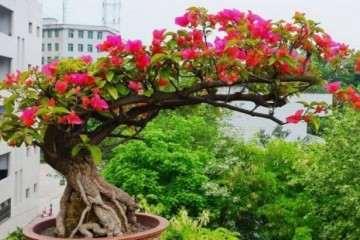 河南冬天可以养三角梅盆栽吗 图片