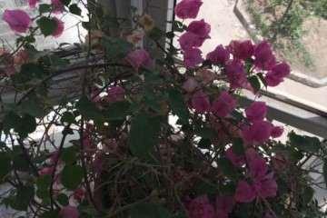 我的三角梅盆栽怎么修剪吗 图片