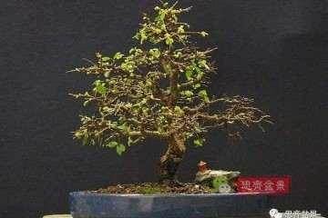 图解 榔榆下山桩怎么制作盆景的方法