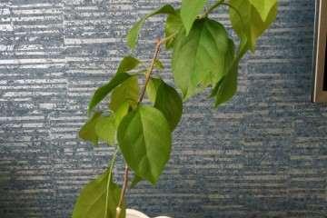 三角梅盆栽应该怎么修剪 如何 图片