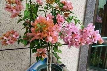 女郎三角梅盆栽怎么管理和修剪 图片
