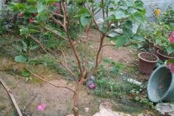 这颗三角梅盆栽 如何修剪 怎么办 图片