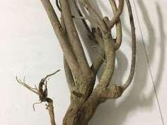 10月2日种的三角梅下山桩要多久发芽