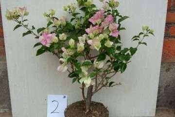 为什么三角梅盆栽不属于梅花 图片