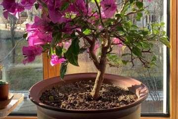 广州可以在阳台盆栽三角梅吗 图片
