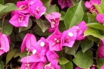 最深紫的三角梅盆栽是哪种 图片