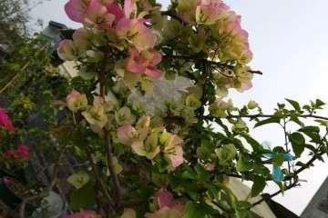 三角梅盆栽到底应该如何浇水 图片